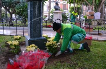 plantación flores de pascua
